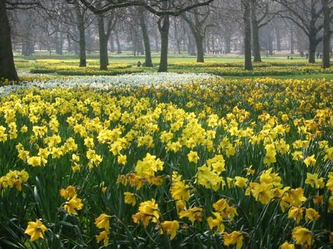 Daffodils ~::~ | Megzone